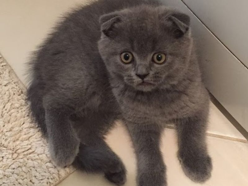 Scottish Fold ve British Short Hair Yavr
